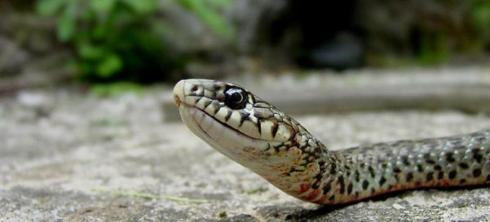 Γιατί ἕνα φίδι νά ἀφήσῃ τήν ἡσυχία του καί νά πάῃ στούς ἀνθρώπους;