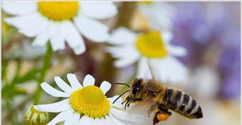 Ἡ αὐτοθεραπευομένη μέλισσα.